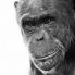 Des Droits Humains aux Chimpanzés ?