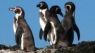 pinguine-chile-stefan-goerlitz