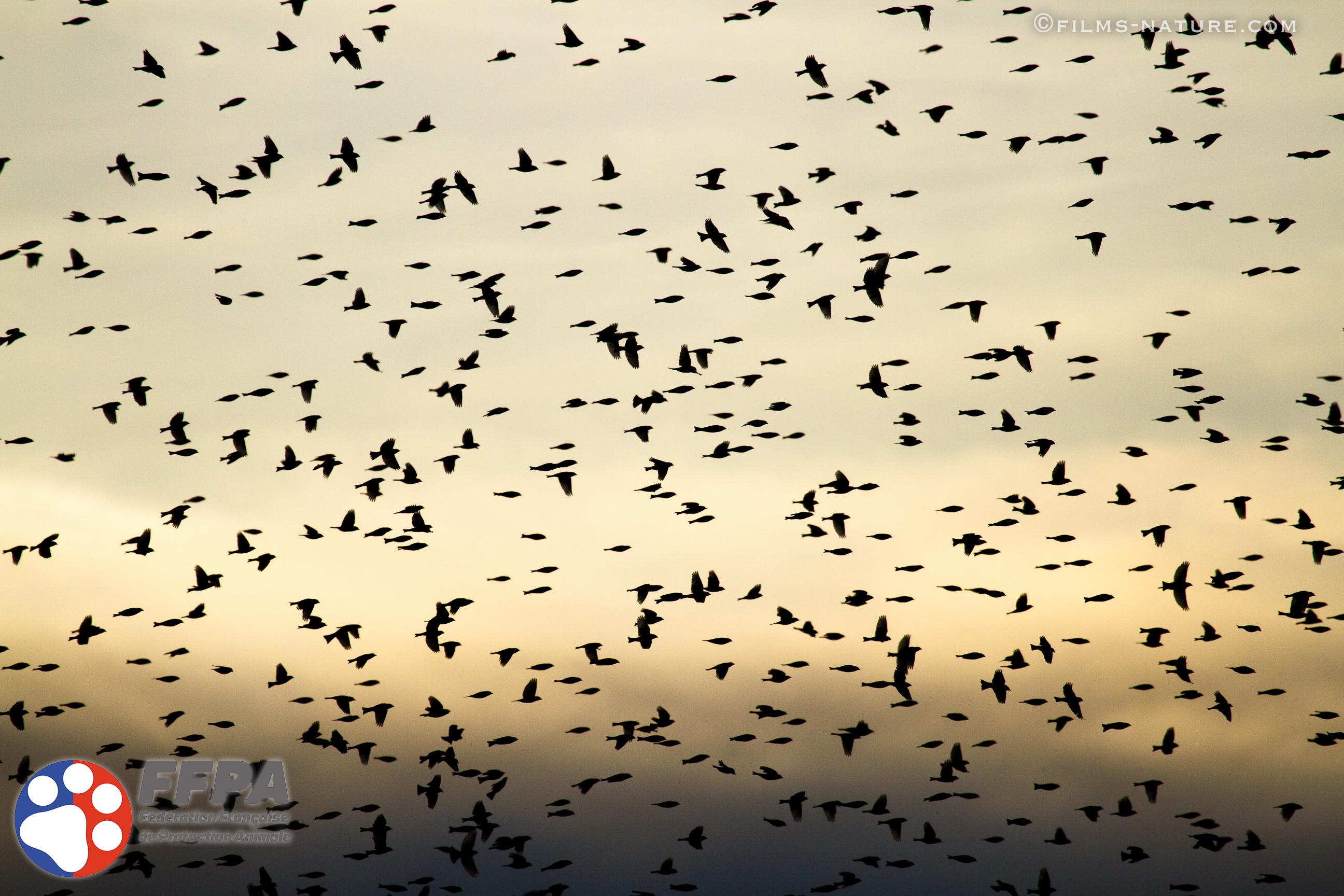 FFPAnimale Oiseaux Migration Copyright