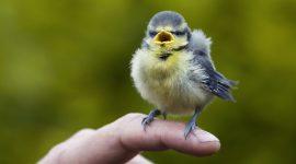 Blue tit - chick on human finger (Cyanistes caeruleus)     Date: