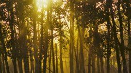Silver Birch trees (Betula pendula) in a forest, Elk Island National Park, Edmonton, Alberta, Canada /4097-3113