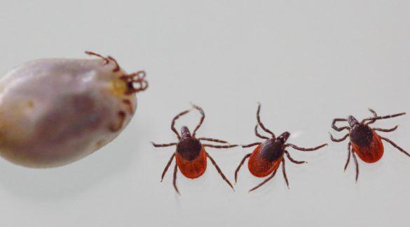 FRANCE : Maladie de Lyme Ixodes Ricinus nom scientifique de la tique insecte transmettant la maladie de Lyme. Maison Alfort, FRANCE 18/07/2016 Photo Gutner/SIPA//GUTNER_GUTNER1724006/Credit:GUTNER/SIPA/1607191737