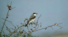 Mandatory Credit: Photo by Gerard Lacz / Rex Features (1922335a) Lesser Grey Shrike, lanius minor, Adult standing on Branch, Kenya VARIOUS  /Rex_BHBBGT634YY_1922335A//1210310309